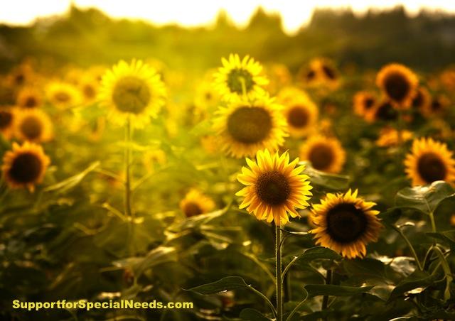 sunflowers special needs